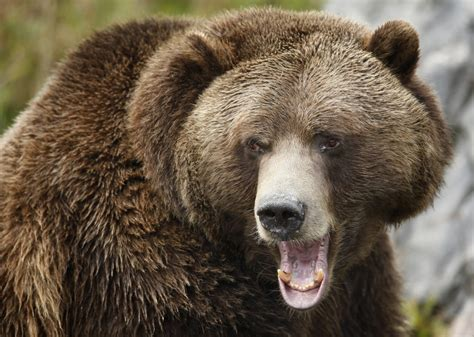 China: Bear Bites Off 9-Year-Old's Arm, Leads to Fears of