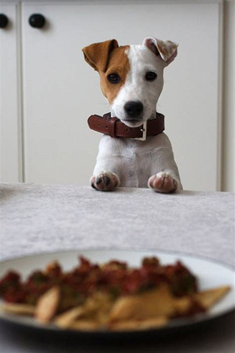 20 Jack Russell Terrier Dogs Photos You Will Love | FallinPets