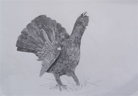 Western capercaillie - B/4 size, graphite pencil drawing